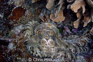 Octopus-Utila by Chris Miskavitch