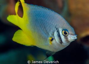 Midas Tailed/Damsel fish portrait by James Deverich