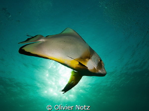 Crazy batfish that followed us several time, swimming thr... by Olivier Notz