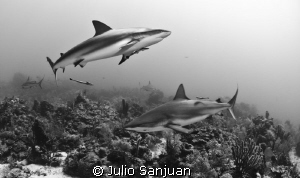 sharks black and white by Julio Sanjuan