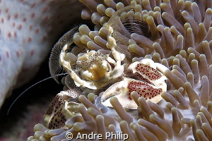 Plancton catching Porcelain Crab by Andre Philip