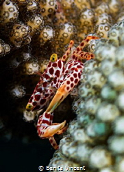 little crab in coral, Seraya, Indonesia by Benita Vincent