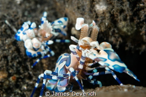 Pair of harlequin shrimp in Bali. by James Deverich