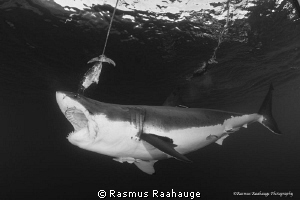 """Feeding"" behavior near the cage - Isla Guadalupe by Rasmus Raahauge"