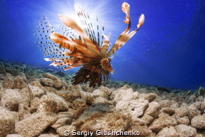 Just lionfish. by Sergiy Glushchenko