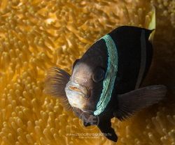 Barrier reef anemonefish being not pleased with a big cam... by Arno Enzo