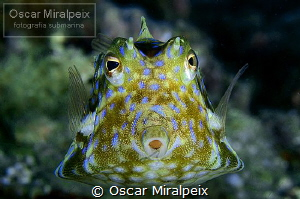 cowfish by Oscar Miralpeix