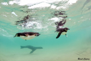 Great time ! (Penguins + Sea lion) by Raoul Caprez