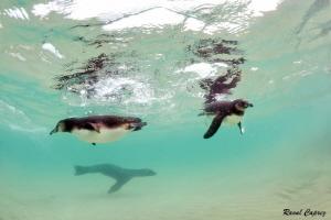 Great time ! (Penguins + Sea lion) by Raoul Caprez