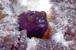 Full frame shot of a Red Banner Blenny inside brain coral... by Francisco Nakahara