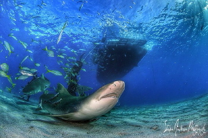 Lemon Shark dancing under the Shear Water at Tiger Beach ... by Steven Anderson