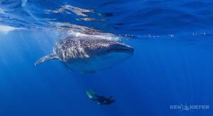 Freediver enjoying the beauty of a whaleshark  near Isla... by Ken Kiefer