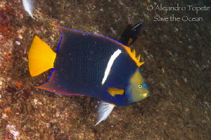 King angel fish, La Paz Mexico by Alejandro Topete