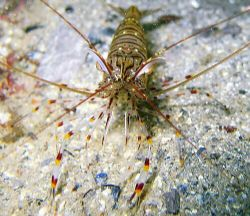 Wot? Common prawn in Loch Hyne, County Cork. These were v... by Dawn Watson