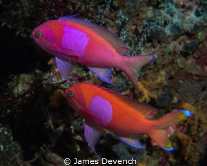 Pair of Squarespot Anthias by James Deverich