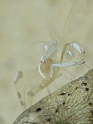 shrimp on an eel Mabul Island by Kf Leong