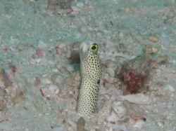 """Spotted Garden Eel, """"Still Hangin On"""", taken in Sipadan w... by Tony Otion"""