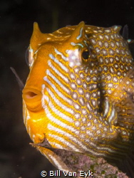 Flinders pier, Shaw's Cowfish Aracana aurita by Bill Van Eyk