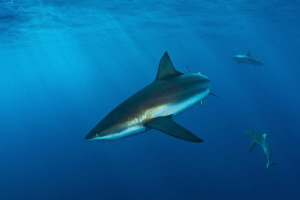 shark & sun rays by Paul Colley