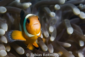 False Clown fish in anemone, Bida Nok by Tobias Reitmayr
