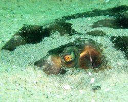 Guitarfish hiding in the sand. La Jolla, CA. by Dallas Poore