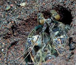 Interesting shrimp, Seraya, Indonesia by Benita Vincent