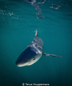 Blue Reflections A curious blue shark glides just below ... by Tanya Houppermans