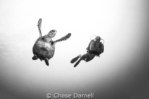 """""""Highlights""""   Hawksbill and Diver, Grand Cayman  by Chase Darnell"""