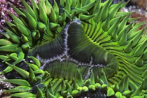 Anemone by Matthew Fischbach