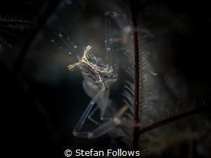 Balancing Act ... Black and Silver Cuapetes Shrimp - Cuap... by Stefan Follows