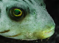 Super close-up of a lined pufferfish by Arno Enzo