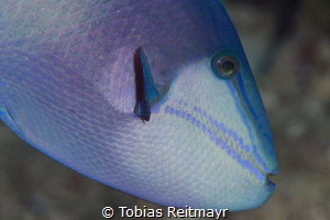 Redtooth triggerfish, Hin Daeng by Tobias Reitmayr