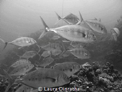Giant trevallies hunting over a reef - black and white by Laura Dinraths