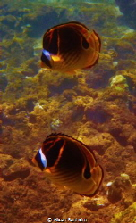 Raccoon Butterfly fish- I think they are sleeping. by Alison Ranheim