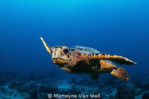 Curious hawksbill turtle by Marteyne Van Well