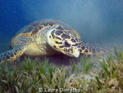 Male Hawksbill turtle looking for some food inside a car ... by Laura Dinraths