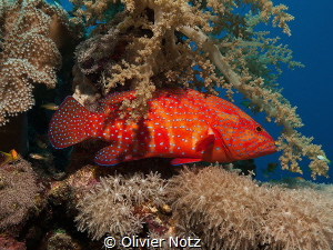 Coral grouper in the shadow of a soft coral by Olivier Notz