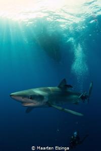 Shark dive @ Pico, Azores by Maarten Elzinga