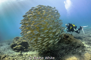 Diver with schooling roncadores, Alcala, Tenerife by Elaine White