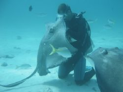 Kissing the Ray. Diver and stingray making friends, Sting... by Peter Fields