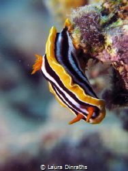 Chromodoris quadricolor nudibranch by Laura Dinraths