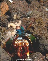 Mantis Shrimp, Indonesia by Benita Vincent