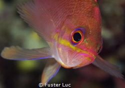 The Anthias, amazing little fish, flutting as a fairy…in ... by Fuster Luc