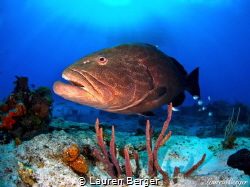 """Max""…Max is the friendliest Black Grouper I have ever ha... by Lauren Berger"
