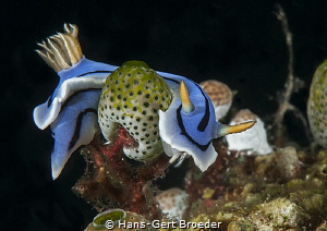 Chromodoris lochi Bunaken islands, Sulawesi, by Hans-Gert Broeder