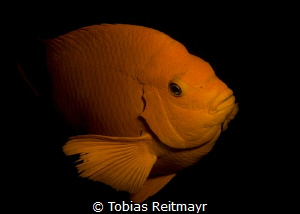 And another one from the Garibaldi, La Jolla Cove, San Diego by Tobias Reitmayr
