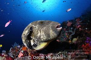 pufferfish by Oscar Miralpeix