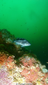 Rockfish in Monterey by Morgan Ashton