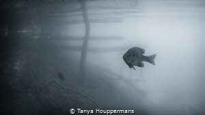 Little Fish, Big Pond A bluegill bass in the Rappahannoc... by Tanya Houppermans
