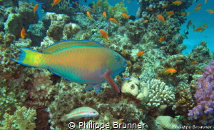 Parrot fish by Philippe Brunner